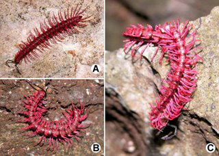 The Poisonous Dragon Millipede. Looks Pretty Dang Cool.
